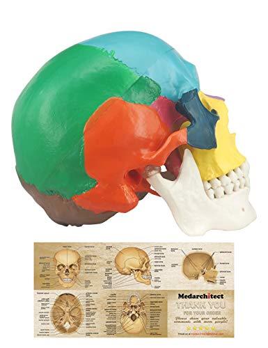 Modelo de Cráneo Humano Coloreado, Modelo Anatómico de 3 Piezas a Tamaño Real con Plantilla a Color del Cráneo Humano para Estudiantes de Medicina o Cursos de Anatomía Humana