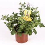 Arbusto Aromatico